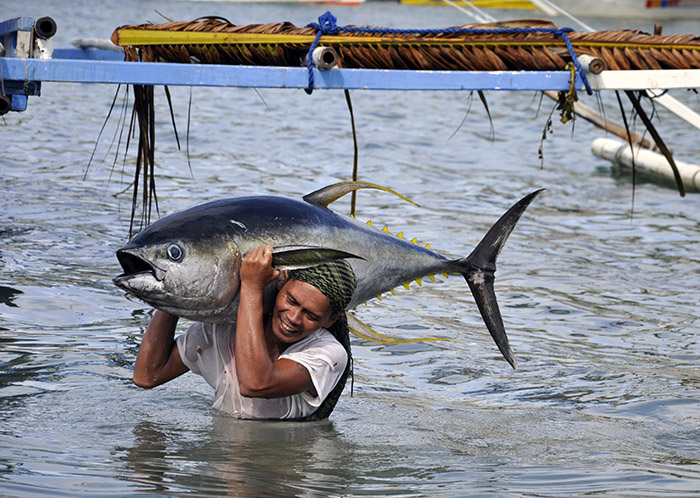 Fisherman hauling a 40-kilogramme yellowfin tuna in Occidental Mindoro. Locally called bariles or bankulis, these top ocean predators eat smaller fish like mackerel, sardines and anchovies. Philippine-caught yellowfin are processed and exported to a host of international destinations. (Gregg Yan / WWF)
